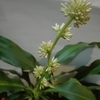 【滅多に咲かない『幸福の木のお花』が咲きました!…しかも2年連続の快挙?!】#84