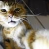 8月前半の #ねこ #cat #猫 どらやきちゃんB
