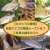 【カネヒラの繁殖】秋型タナゴの繁殖シーズンは?二枚貝の越冬のコツ