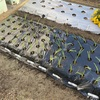 極早生玉ねぎの植え付けしたよ!