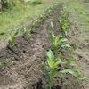 トウモロコシの間引き・追肥