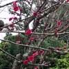 紅梅開花! 今年は春が早い⁉︎