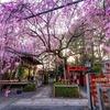 京都・西陣 - 密かなしだれ桜の名所 水火天満宮