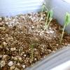 【栽培】芽がでました!③