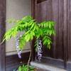 京都・粟田 - 京の街角 藤の花