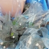 イチジクの袋栽培 その後