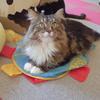 大好きなネコ!!メインクーンの岳君のストラップを作ってみた!!