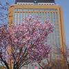 今週も続きます桜「石川県県庁」