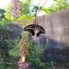 揚羽蝶の羽化