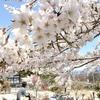 桜の季節のおじーちゃん