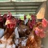 養鶏をやられている本間農園さんにお邪魔しました。