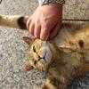 7月前半の #ねこ #cat #猫 どらやきちゃん