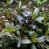 まーちに待ったアジュガの開花