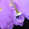 🌸鬼接写レンズで桜の水滴を撮影☔