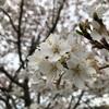 アメリカにも普通に桜(ソメイヨシノ)がある?? ワシントンDCだけじゃない。もうすぐ満開です。
