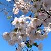 秋田の桜・4/21〜iPhoneXSで切り取る〜