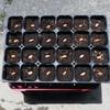 ジャンボ落花生(おおまさり)の種蒔き