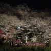 養源寺 夜桜のライトアップに今年も感謝!