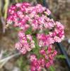 セイヨウノコギリソウ(西洋鋸草、Achillea millefolium L.)