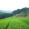 徐々に濃い緑色へと変化し始める茶畑