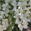 初夏の風物詩 ニセアカシアの花の天ぷら