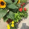 さらに花苗追加です。やっぱり花があるっていいなー(=´∀`)あと、フィーバフューを収穫しました