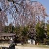 レオンと桜お花見ドライブ