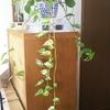 観葉植物のポトスは育てやすくて魔太郎Gちゃんの癒やしです