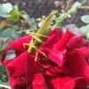 キリギリスがバラを喰いに来ていた