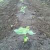 枝豆とトウモロコシの苗を畑に植え付け