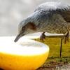 日本 餌代のヒヨドリ