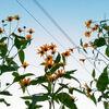 キクイモの花が咲く