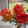 切り花のバラを挿し木に
