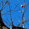 「佐久の季節便り」、無事に、「大楓(おおかえで)」も紅葉し…。
