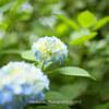 今年も淡い紫陽花を撮ってきました。宗吾霊堂あじさい祭り 千葉県成田市 2017