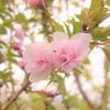 うちの桜も咲きました