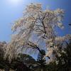 川越 中印のしだれ桜 魚眼レンズで撮影 2018年の見頃は3月3週目ころでしょうか。
