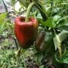 """畑からこんにちは! 1107   """" 虫食いが絶えない…  難しいですね…   """"   #家庭菜園 #野菜 #白菜 #キャベツ"""