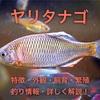 ヤリタナゴの特徴・外観・飼育・繁殖・釣り情報を詳しく解説!