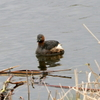手賀沼湖畔のカイツブリとムクドリ