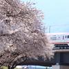 長野電鉄村山橋周辺の桜