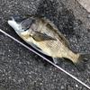 クロダイのさまざまな釣り方を紹介 自分に合った釣法を探してみよう