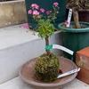 5鉢植え替え、使った用土は60kg近くになりました