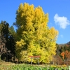 【長野県】樹齢500年超 母乳の出が良くなると伝えられる大イチョウ