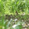 週末になると夏鳥の出がイマイチ(大阪城野鳥探鳥20210410 5:20-11:50)