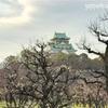 春の訪れを五感で感じよう!大阪城の梅林へ!重要文化財特別公開(期間限定)のお知らせもあります。