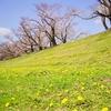 【桜】背割堤の様子見へ【3/23散策記】