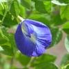 青い花大好き