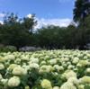 相模原北公園のアナベル!(2021年6月17日)