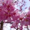 世界遺産で花見をしませんか?京都の絶景桜スポット3選!